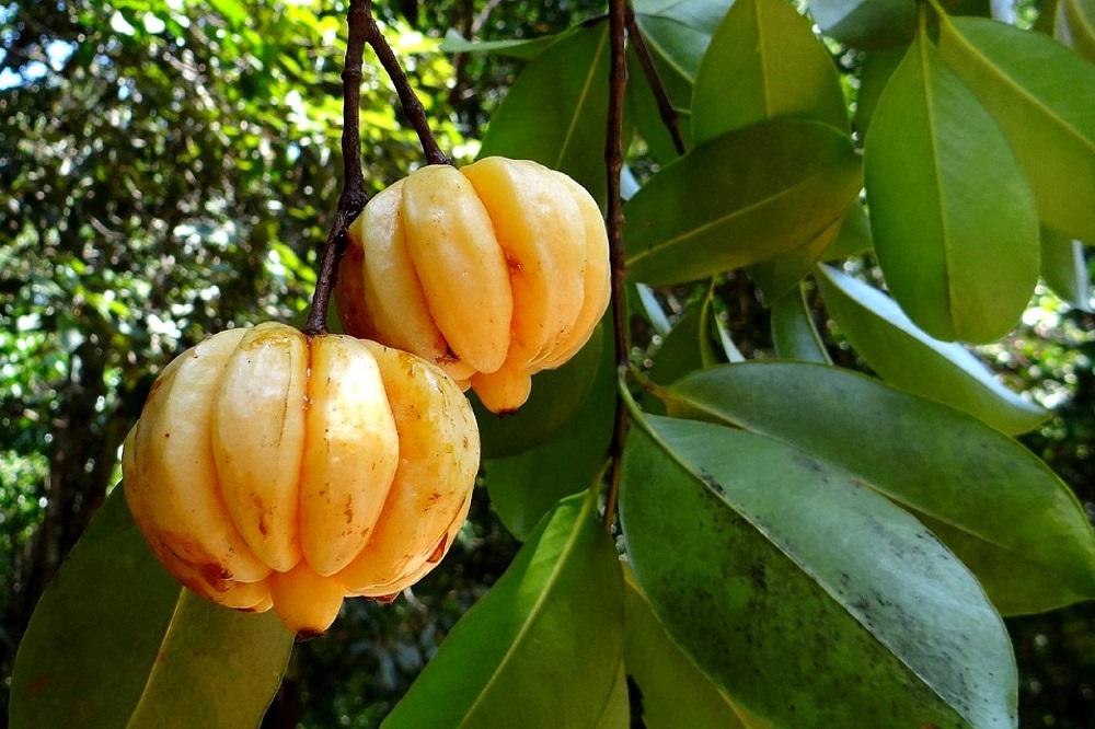 giảm cân quả bứa - garcinia cambogia, thuốc giảm cân quả bứa, thuốc giảm cân từ quả bứa, tác dụng giảm cân của quả bứa, tác dụng của thuốc giảm cân từ quả bứa,